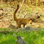 World Slam Adventures Mayan Jungle Safari Coati 1