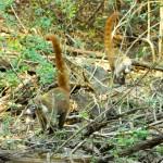 World Slam Adventures Mayan Jungle Safari Coati 2