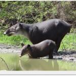 World Slam Adventures Mayan Jungle Safari Tapir